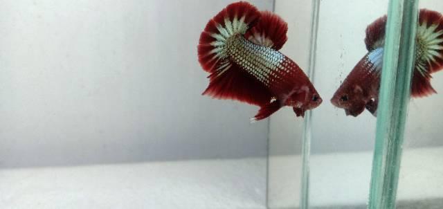 Ikan Cupang Fccp Red Heat 3bulan Shopee Indonesia