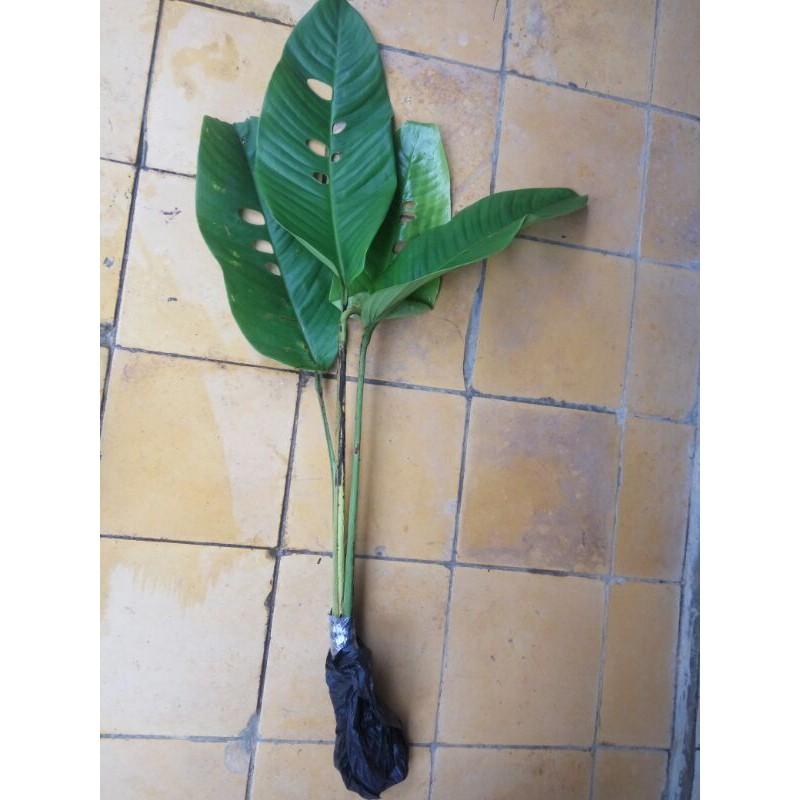 Bibit Bonggol Duda Bolong Atau Jungle Plant Bibit Duda Bolong Jungle Plant Shopee Indonesia