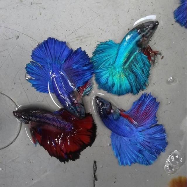Ikan Cupang HM Besgel Botolan Murah ikan hias berta bulan ...