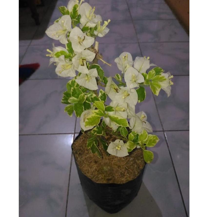 Art 304w Tanaman Bunga Bougenville Putih Bunga Kertas Putih Shopee Indonesia