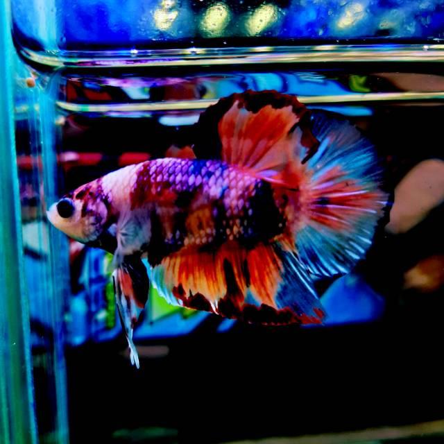 Ikan Cupang Nemo Atau Koi Shopee Indonesia