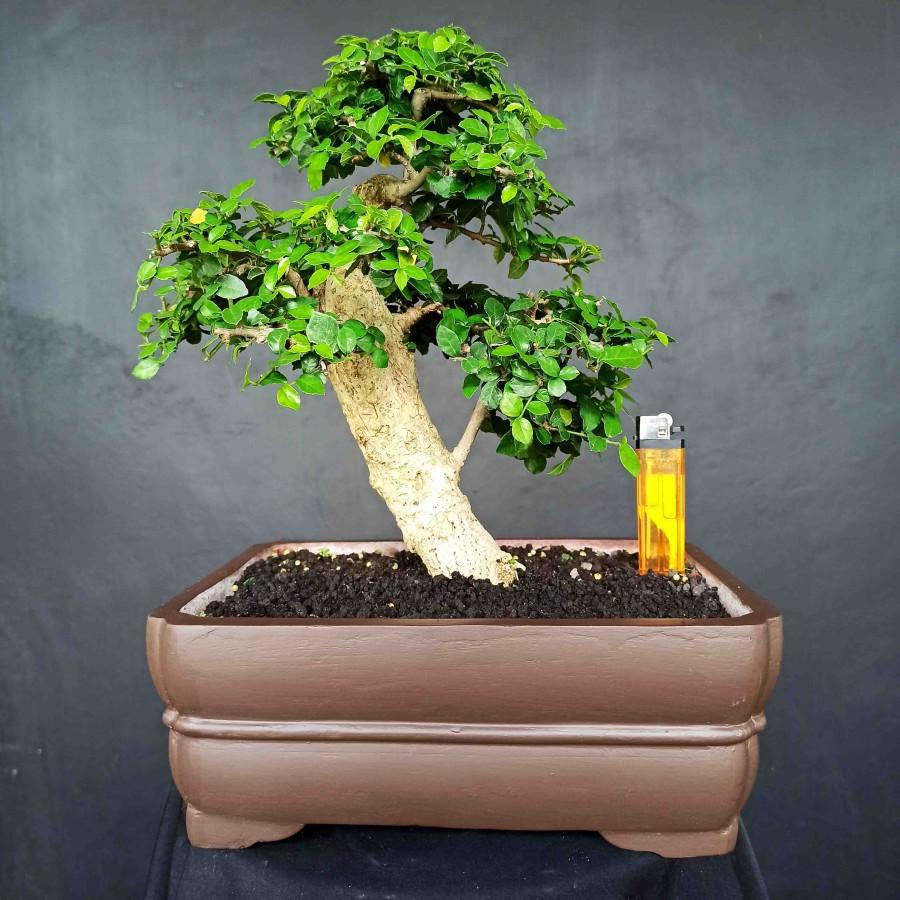 Bonsai Tanaman Hias Pohon Serut Mini