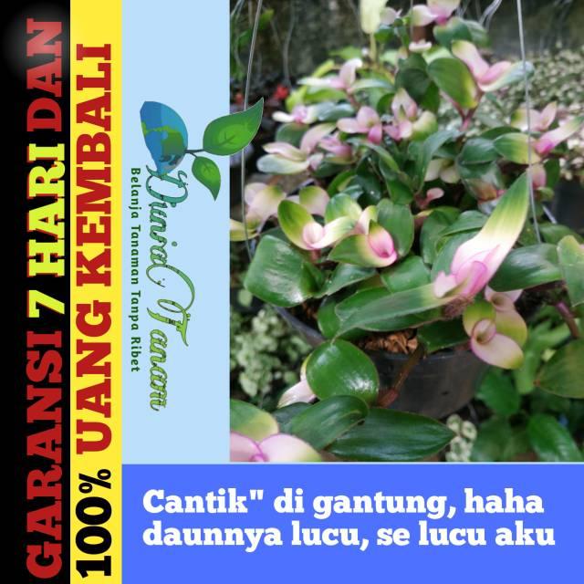 Tanaman Hias Gantung Sabrina Pink Bunga Benih Tanaman Bibit Pohon Bibit Buah Bibit Tanaman Shopee Indonesia