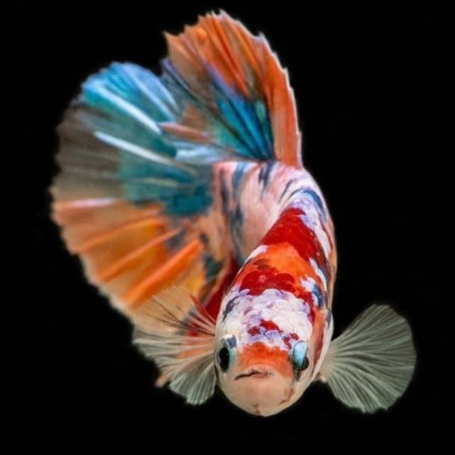 Ikan Cupang Nemo Galaxy Full Colour Size S M Shopee Indonesia