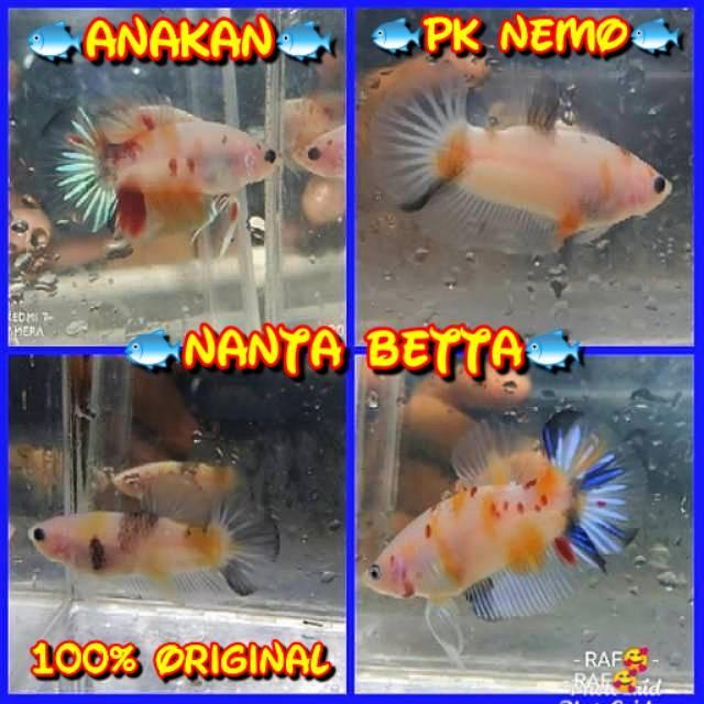 Anakan Ikan Cupang Plakat Nemo Koi Fancy Shopee Indonesia