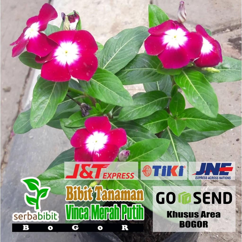 Tanaman Hias Bunga Vinca Merah Putih Bibit Pohon Tapak Dara Gantung Shopee Indonesia