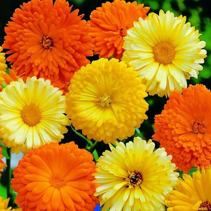 20 Biji Benih Bunga Calendula Officinalis Kalendula Pot Marigold Shopee Indonesia