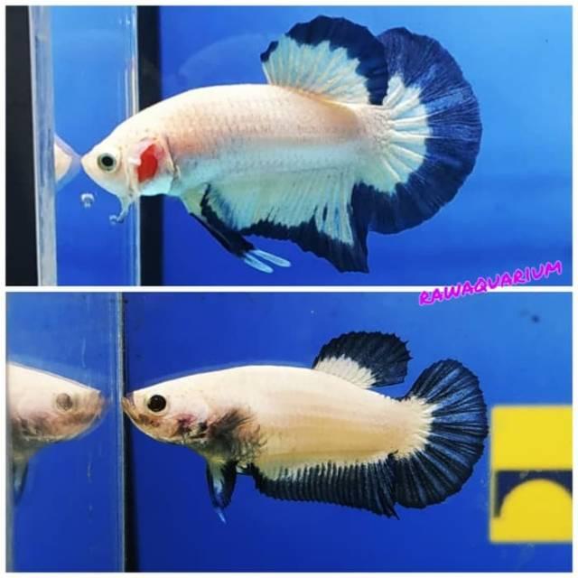 Ikan Cupang Blue Rim 1 Pair Pasang Line Thai Shopee Indonesia