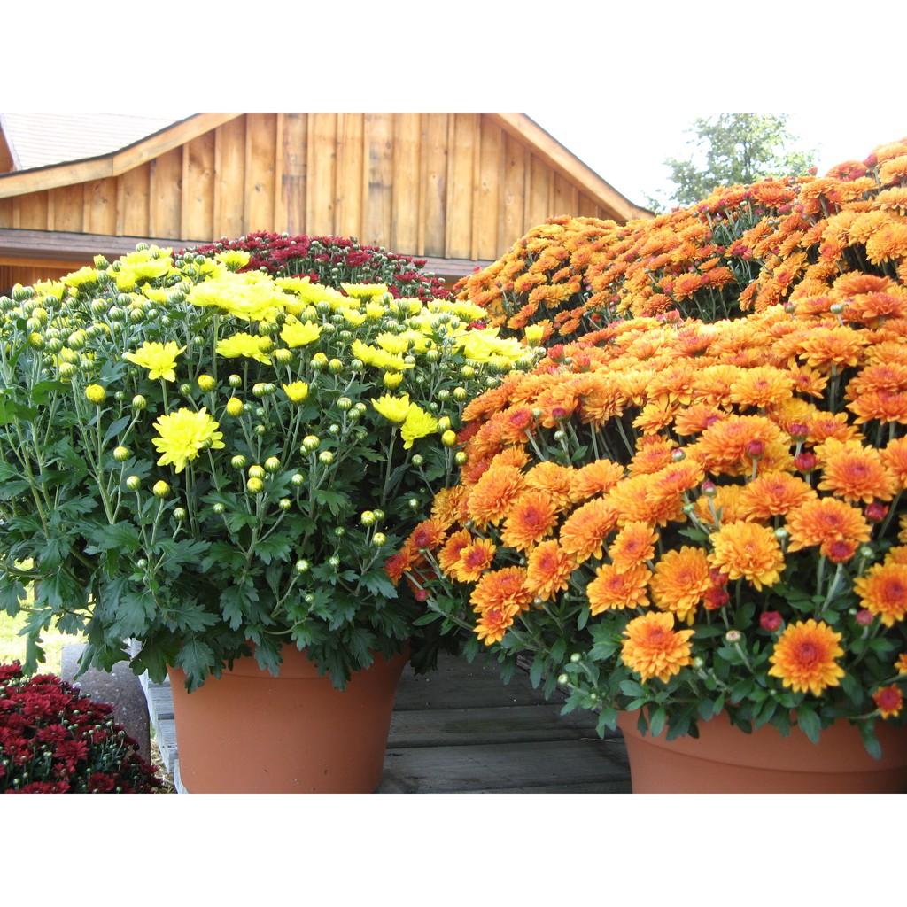 Tanaman Krisan Aster Bunga Aster Merah Kuning Ungu Putih Orange 250g Tanaman Chrysanthemum Shopee Indonesia