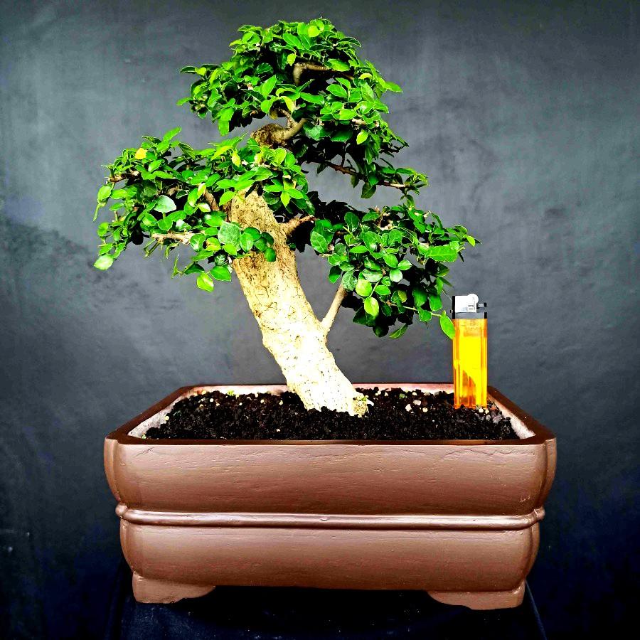 Bonsai Tanaman Hias Pohon Serut Mini Unik