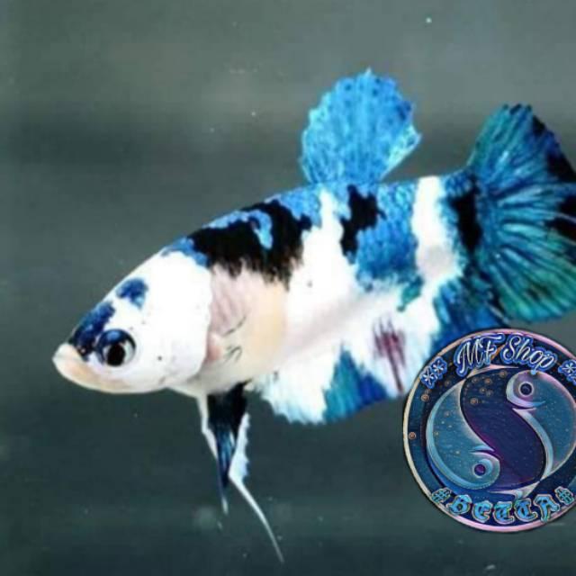 Ikan Cupang Rainbow Candy Shopee Indonesia