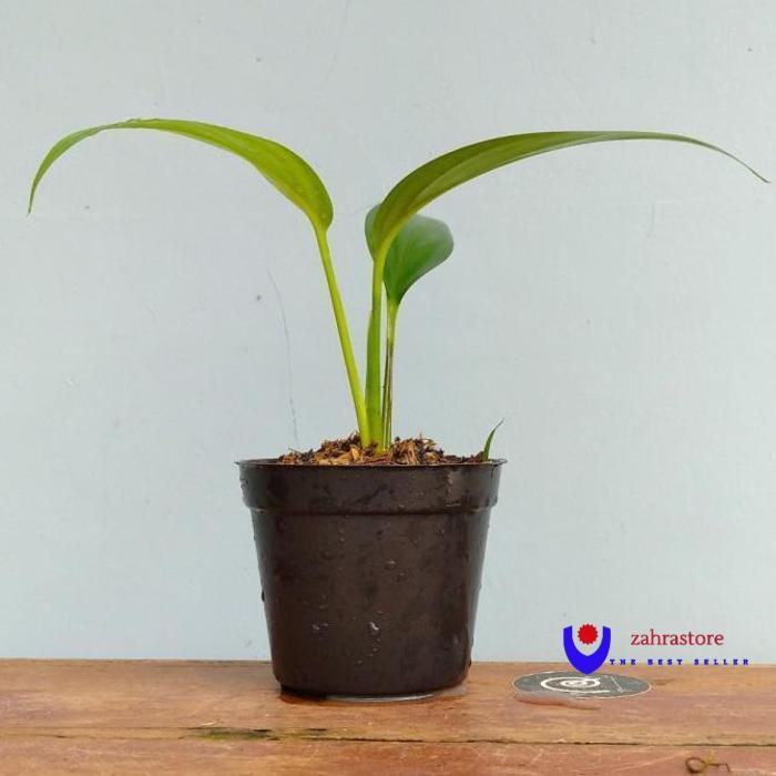 Epipremnum Amplissimum/Tanamanhias/Indorplant
