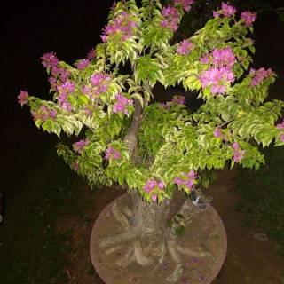 Bonsai Bunga Bougenville Bunga Kertas Bonsai Tanaman Hias Bonsai Bougenville Shopee Indonesia