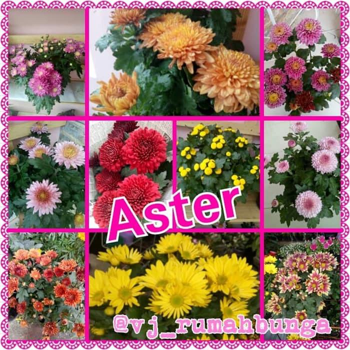 Tanaman Bunga Krisan Bunga Krisan Bunga Aster Shopee Indonesia