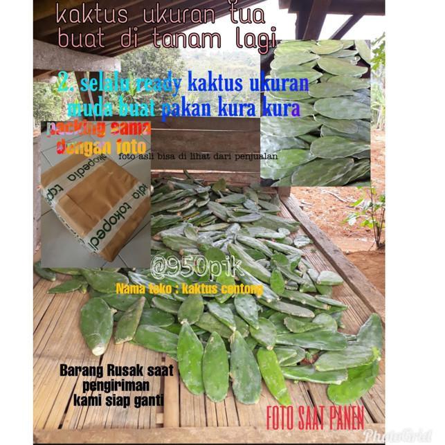 Terlaku Kaktus Centong Murah Termurah Kualitas Baik New Arrival Shopee Indonesia