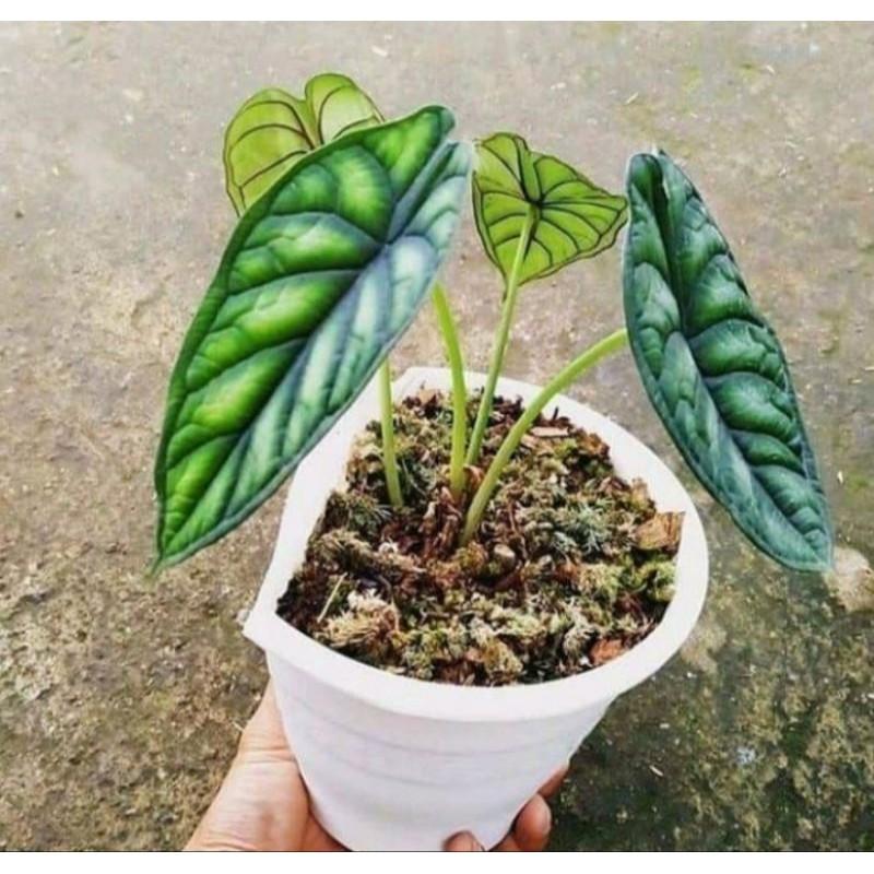 tanaman hias alocasia dragon scale - alocasia dragon scale