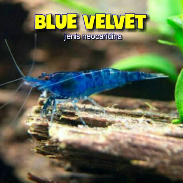 Udang Hias Aquascape Aquarium Murah Blue Velvet Shopee Indonesia