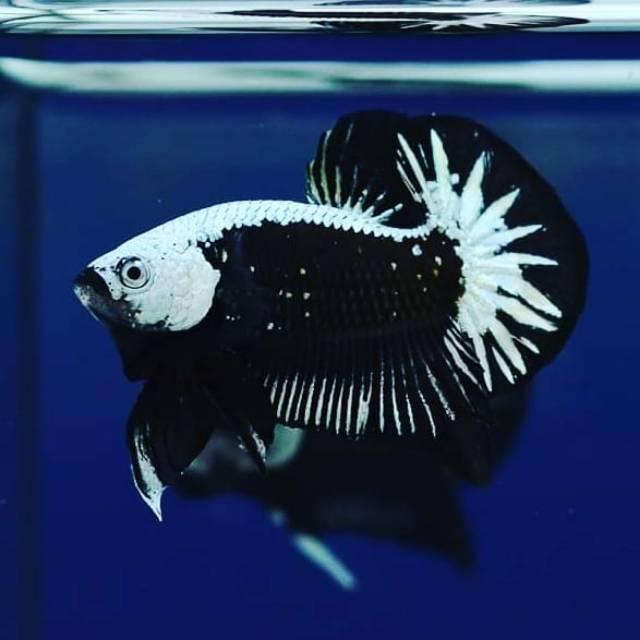 Ikan Cupang Black Samurai Betta Fish Murah Shopee Indonesia