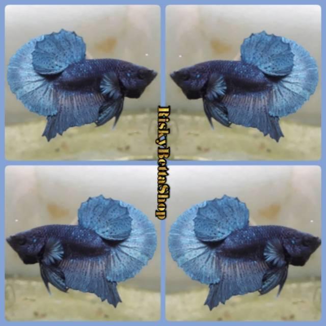 Ikan Cupang Bbl Steel Blue Line Avatar Gordon Shopee Indonesia
