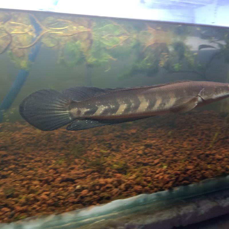 ikan channa red marulius sp barito -+35cm