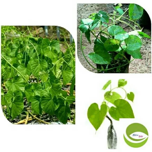 Bibit Tanaman Brotowali Antawali Pohon Rambat Brotowali Obat Herbal Shopee Indonesia
