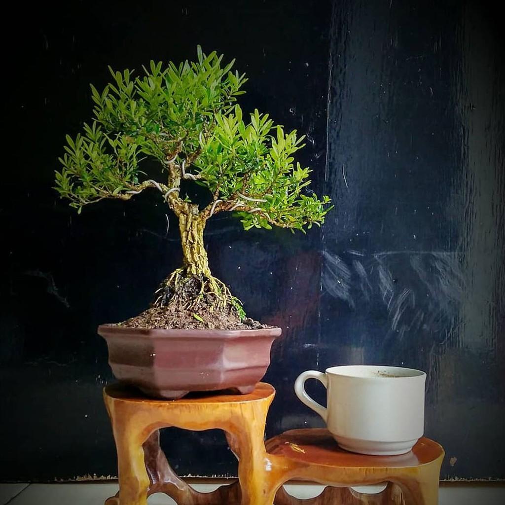 TANAMAN HIAS TAHAN PANAS Boksus tanaman bahan bonsai (BUXUS) | Shopee  Indonesia