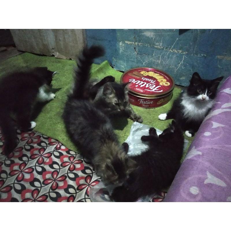 Kucing Anggora/Persia umur 3 Bulan ( Sepasang )