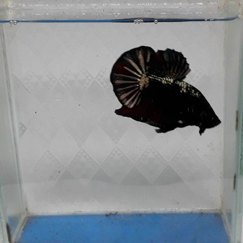 Male Avatar Copper Gold Ikan Cupang
