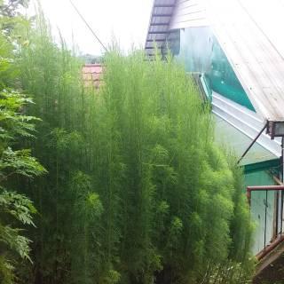 Bibit Pohon Adas Pulosari Pulowaras Shopee Indonesia