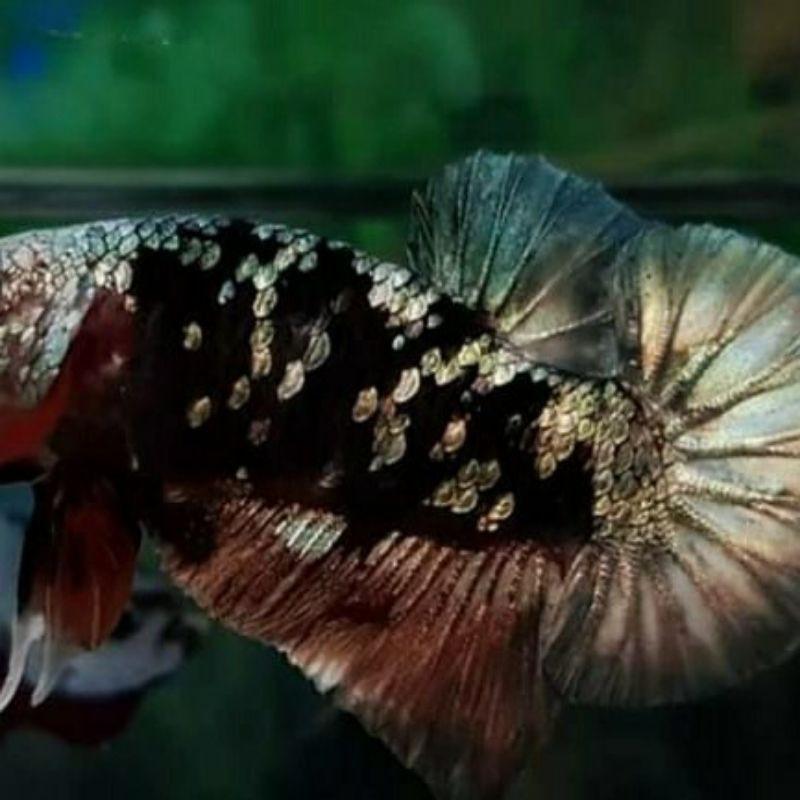 ikan cupang avatar cooper gold anakan