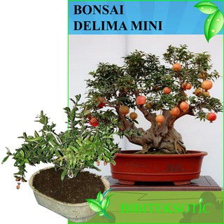 Tanaman Bonsai Delima Mini