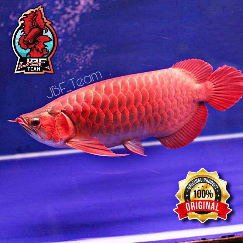Ikan Arwana Super Red Grade A Baby Lengkap Setifikat + Chip 100% Asli Bergaransi Termurah