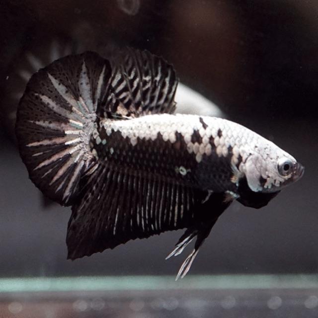 Ikan Cupang Black Samurai 02 Top Grade Shopee Indonesia