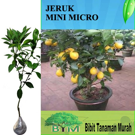 Tanaman Jeruk Lemon Mini Micro Shopee Indonesia