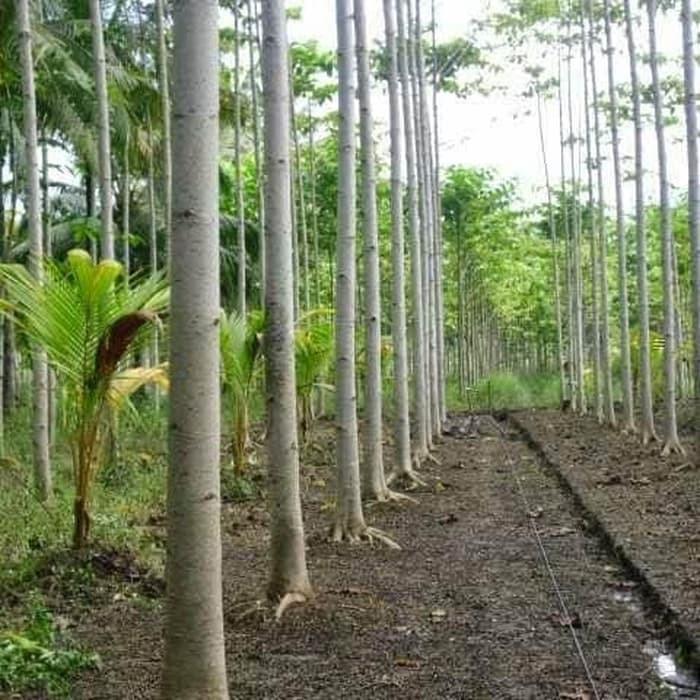 Hasil gambar untuk pohon sengon