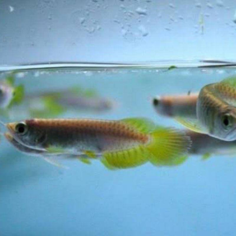 ikan arwana red banjar super