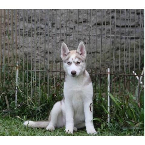 Anjing Siberian Husky Mata Biru Shopee Indonesia