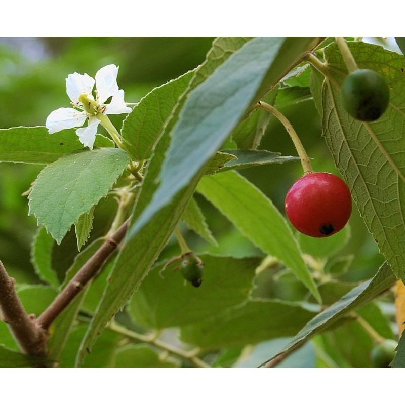 dieta de diabetes manfaat daun talok untuk