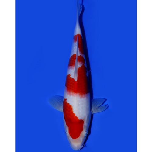 KOHAKU Izumiya Koi Farm 32cm Ikan Koi Import Jepang