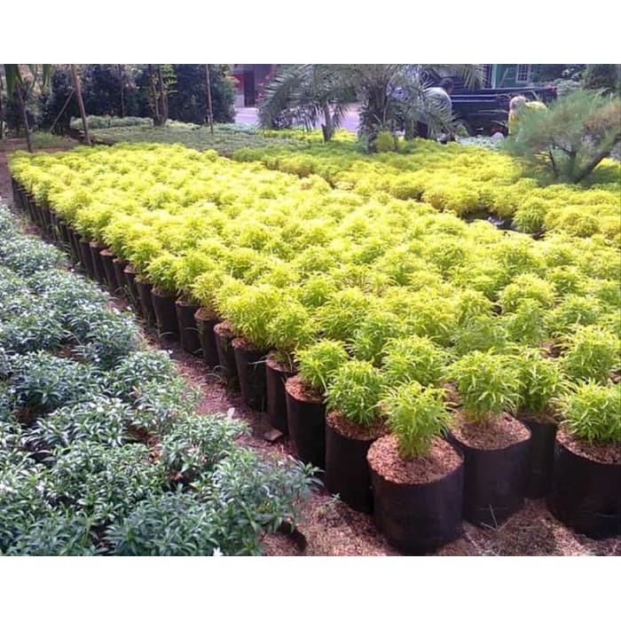 Paket Bibit Tanaman Hias Brokoli Kuning Murah Shopee Indonesia
