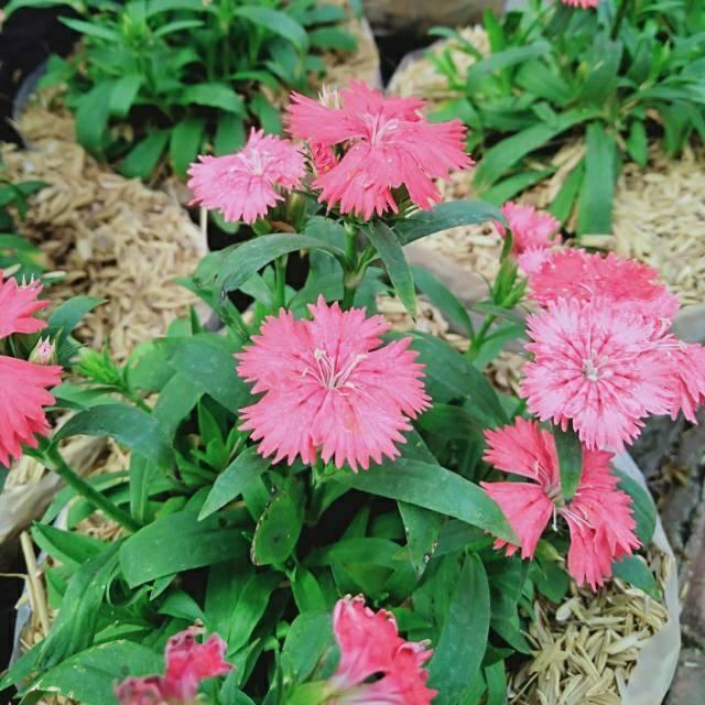 Tanaman Hias Bunga Anyelir Dianthus Shopee Indonesia