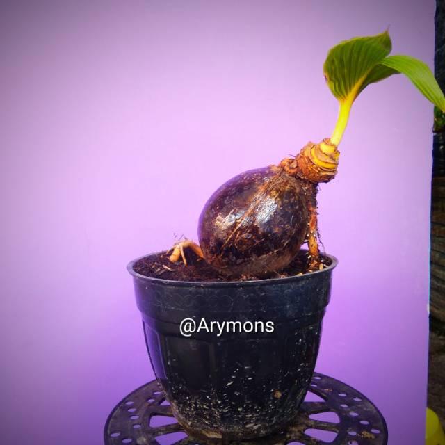 Tanaman unik bonsai kelapa