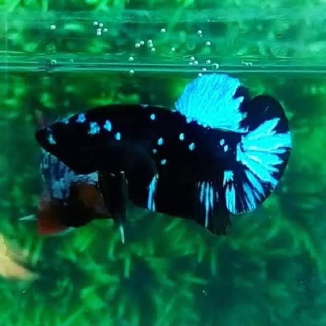 Ikan Cupang Avatar Line Avatar Gordon Shopee Indonesia