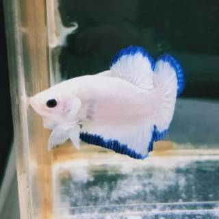 Ikan Cupang Blue Rim 2 5 Bulan Shopee Indonesia