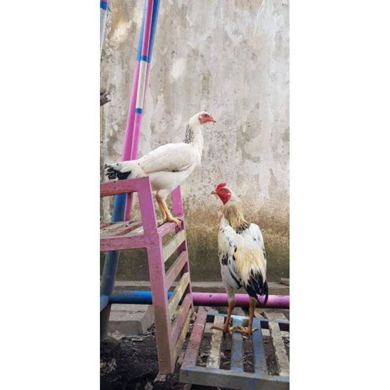 anak ayam ASEEL PAKISTAN MAINWALI MURNI