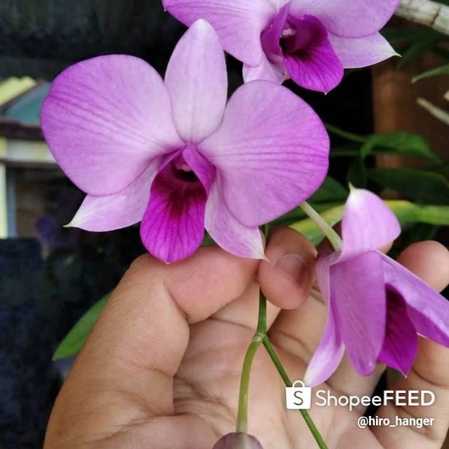 Anggrek Dendrobium Larat Shopee Indonesia