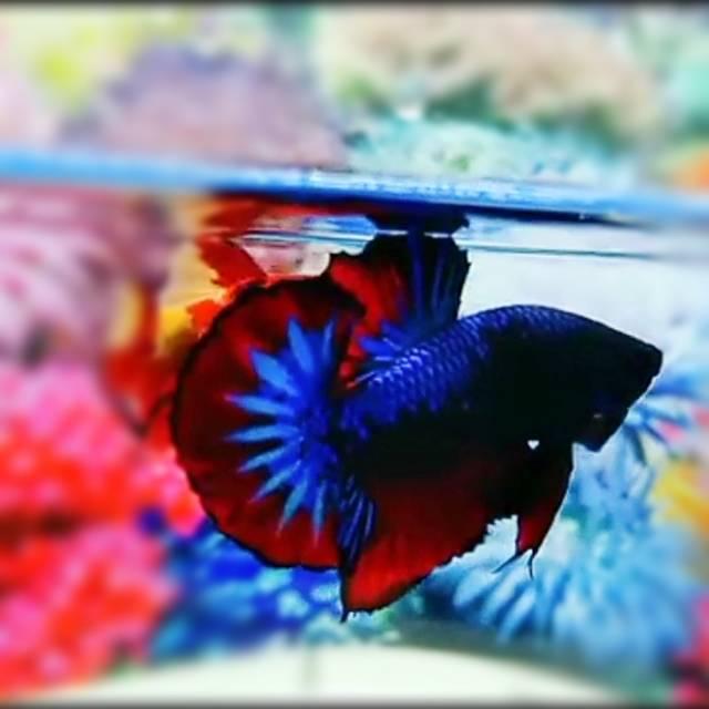 Ikan Cupang Giant Avatar Beli 3 Bonus 1 Male Female Bo 3 5 4 5 Packing Styrofoam Shopee Indonesia