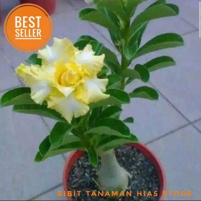 Tanaman Hias Adenium Kamboja Bunga Kuning Tanaman Hias Bunga Kamboja Shopee Indonesia