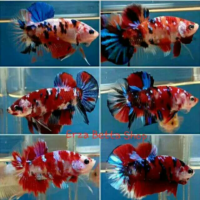 Ikan Cupang Koi Fancy Galaxi Full Block | Shopee Indonesia