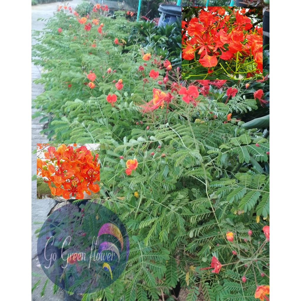 Bunga Flamboyan Tanaman Penghijauan Bunga Exotic Bunga Jadul Shopee Indonesia